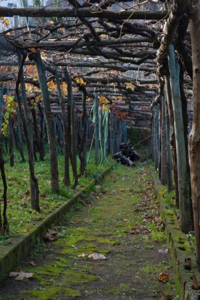 Grape vineyards in the Amalfi Coast